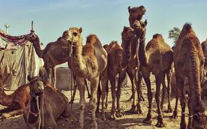 Feria del Camello
