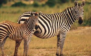 Zebras en el Parque Nacional Amboseli
