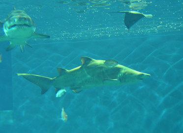 Tiburones Toro en Acuario de Sevilla