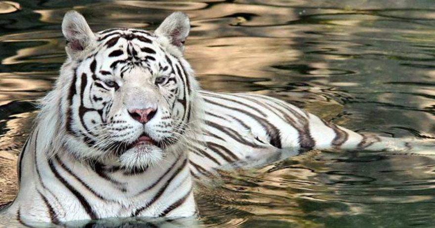 Tigre del Zoo Aquiarium de Madrid