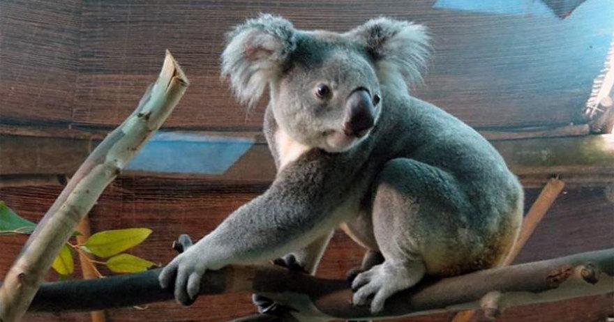 Koala del Zoo Aquiarium de Madrid