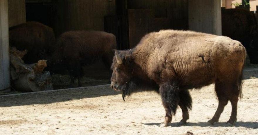 Bisonte americano del Zoo Aquiarium de Madrid