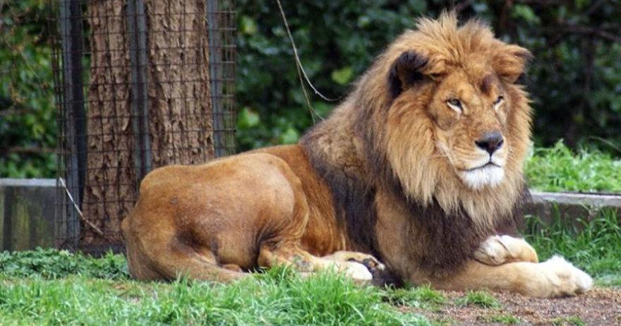 Le�n del Zoo Aquiarium de Madrid