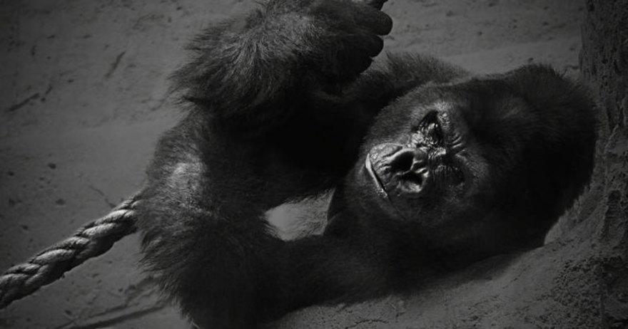 Gorila del Zoo Aquiarium de Madrid