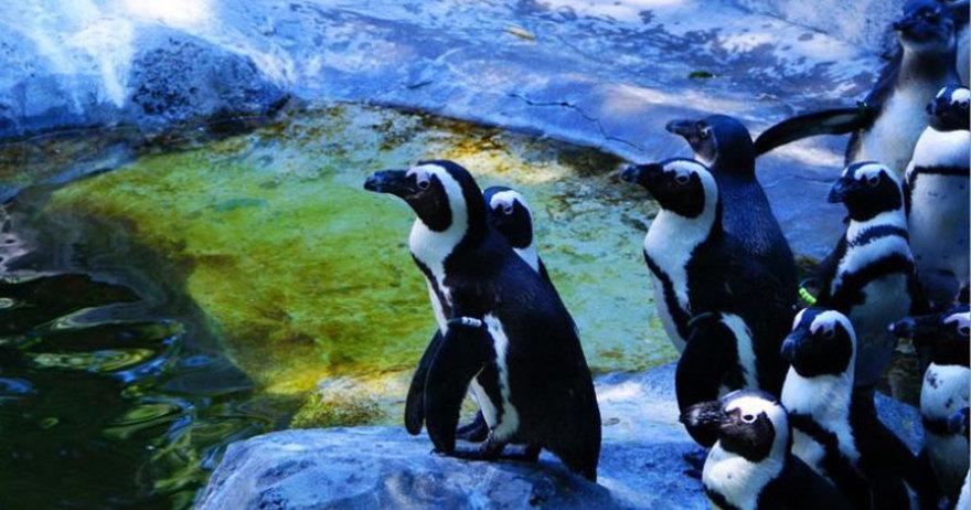 Ping�ino africano del Zoo Aquiarium de Madrid